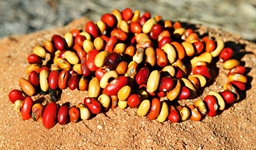 Ininti Seed Necklace (AN12045232)