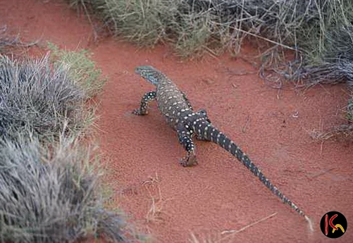 aboriginal_goanna_painting_photo_2.jpg