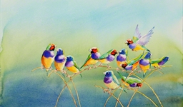 Gouldian Finches (10022048)