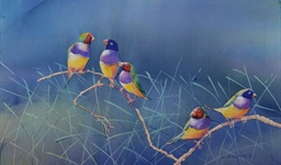 Gouldian Finches (10052170)