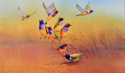 Gouldian Finches (11102388)
